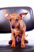 Little toy terrier sitting on chair — Foto de Stock