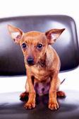 Piccolo terrier giocattolo seduto sulla sedia — Foto Stock