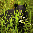 Female Black Bear and Cub - Stock Photo