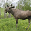 Moose — Stock Photo #18163619