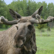 Moose — Stock Photo #18172703