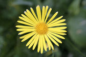 Daisy giallo di stefano75 — Foto Stock