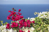 Santorini Flowers — Stock Photo