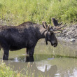 Moose — Stock Photo #38042545
