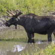 Moose — Stock Photo #38042553