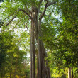 Big Tree in a tropical forest, Cambodia. — Stock Photo