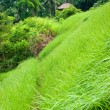 Amazing Rice Terrace field, Ubud, Bali,  Indonesia. - Stock Photo
