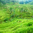 Amazing Rice Terrace field, Ubud, Bali,  Indonesia. - Foto Stock