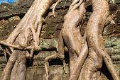 Detail of big at Ta Prohm, Siem reap, Cambodia. — Stock Photo