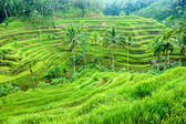 Amazing Rice Terrace field, Ubud, Bali, Indonesia. — Stock Photo