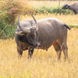 Stock Photo: AsiWater Buffalo in his habitat, near Mekong river, Cambodia.