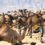 Camel Fair, Pushkar, India. — Stock Photo
