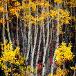 Fall Aspen Birch Leaves — Stock Photo