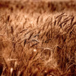 Wheat Grain — Stock Photo #12779437