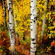 Stock Photo: Fall Aspen Birch Leaves