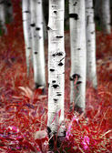 Aspen Birch Trees in Fall — Stock fotografie