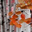 Aspen Birch Trees in Fall — Stock Photo #13429543