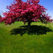 Red Tree Blossoms in Spring — Stock Photo