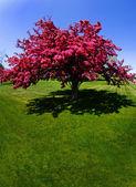 Röd träd blommar under våren — Stockfoto