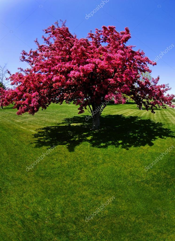 Fleurs de l 39 arbre rouge au printemps photographie eric1513 13465077 - Arbres a fleurs rouges ...