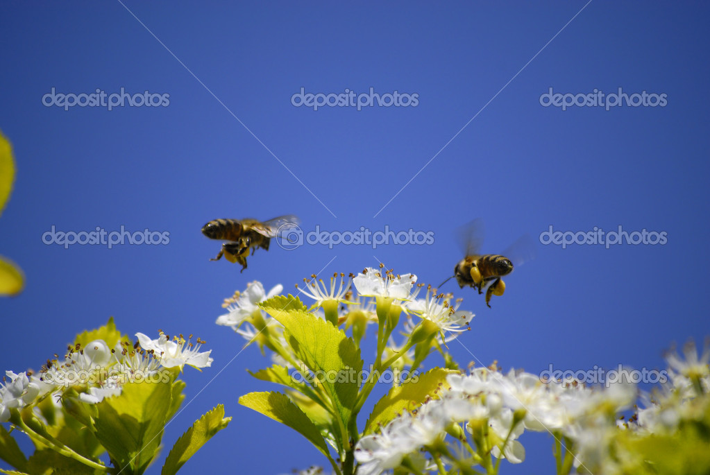 Several Honey Bees Flying Around Flowers  Stock Photo #14423859