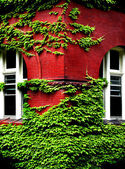 Ivy Growing on Wall — Stock Photo