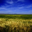 Field of Grain — Stock Photo