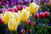 Garden of Flowers and Tulips — Stock Photo