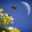 Bees Flying Around Flowers — Stock Photo