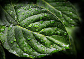 Leaves with Water Drops — Stock Photo