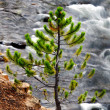 Pine and River in Yellowstone National Park — Stock Photo