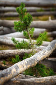Yellowstone National Park Burned Pine Forest — Stock Photo