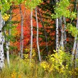 Forest of Pine, Aspen and Pine Trees in Fall — Stock Photo