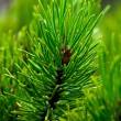 Closeup of Pine Needles and Bough — Stock Photo #33132105