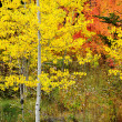 Forest of Pine, Aspen and MapleTrees in Fall — Stock Photo #33132323