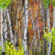 Forest of Pine, Aspen and MapleTrees in Fall — Stock Photo