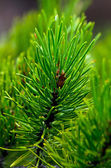 Closeup of Pine Needles and Bough — Stock Photo