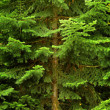Lush Green Pine Tree — Stock Photo