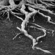 Stock Photo: Old Pine Tree Roots