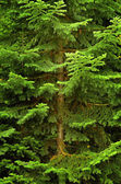 Lush Green Pine Tree — Stock Photo