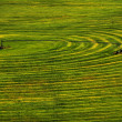 Furrows of Green Healthy Crops  in Field — Stock Photo