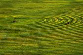 борозды зеленых здоровых культур в поле — Стоковое фото