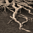 Old Pine Tree Roots — Stock Photo
