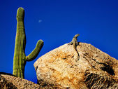 Lizard Sunning on Rock with Saguaro — Stock Photo