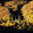 Stock Photo: Desert Southwest Saguaro Cacti