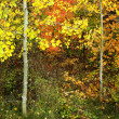 Forest of Pine, Aspen and MapleTrees in Fall — Stock Photo #38929597