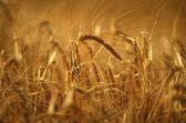 золотое зерно — Стоковое фото