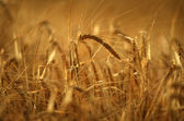 Grão de ouro — Foto Stock