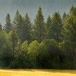 Forrest of Pine Trees in Rain — Stock Photo #51475491