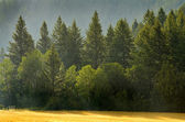 Forrest of Pine Trees in Rain — Stok fotoğraf